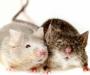 【家里有老鼠怎么办】老鼠和牡蛎