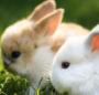 [三只小兔子]七只小兔子